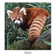 Lesser Panda Ailurus Fulgens Print by Owen Bell