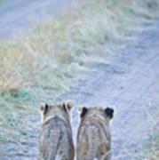 Lion Cubs Walking Together In Masai Mara Print by Mehmed Zelkovic