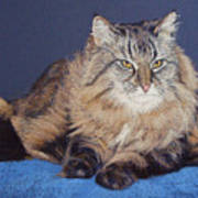 Maine Coon Kitty Print by Kay Ridge