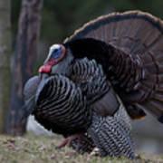 Male Wild Turkey, Meleagris Gallopavo Print by John Cancalosi