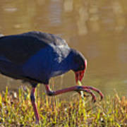 March Of The Swamphen Print by Mike  Dawson