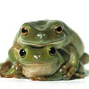 Mating Frogs Print by Darwin Wiggett