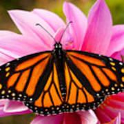 Monarch And Dahlia Print by Steve Augustin