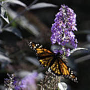 Monarch In Backlighting Print by Rob Travis
