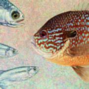 Mooneyes, Sunfish Print by James W Johnson