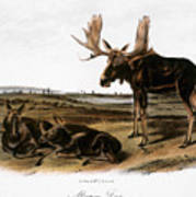 Moose Deer (cervus Alces) Print by Granger