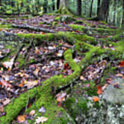 Moss Tree Roots Fall Color Print by Thomas R Fletcher