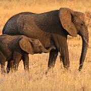 Mother And Baby Elephants Print by Adam Romanowicz