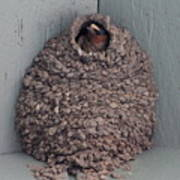 Mud Nest  Print by Pamela Walrath