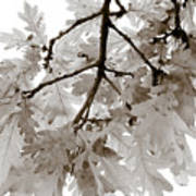 Oak Leaves Print by Frank Tschakert