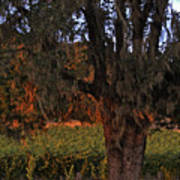 Oak Tree And Vineyards In Knight's Valley Print by Charlene Mitchell