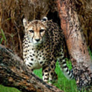 On The Prowl Print by Heather Thorning