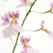 Oncidium Orchid Flowers Print by Julia Hiebaum