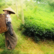 One Day In Tea Plantation  Print by Charuhas Images