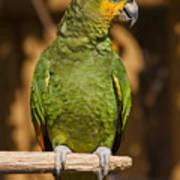 Orange-winged Amazon Parrot Print by Adam Romanowicz