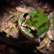 Pacific Tree Frog Print by Nick Gustafson