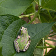 Pacific Tree Frog Print by Shannon Gresham