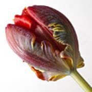 Parrot Tulip 1 Print by Robert Ullmann