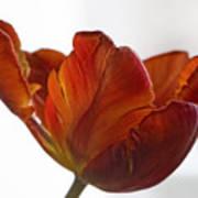 Parrot Tulips 20 Print by Robert Ullmann