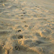 Paw Prints In The Sand Print by Roberto Westbrook