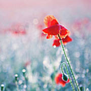 Poppy Field In Flower With Morning Dew Drops Print by Sophie Goldsworthy