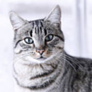 Portrait Gray Tabby Cat Print by Maika 777