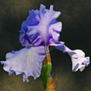 Portrait Of An Iris Print by Steve Augustin