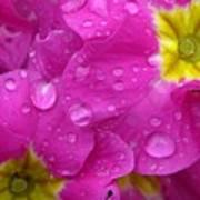 Raindrops On Pink Flowers Print by Carol Groenen