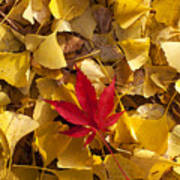 Red Autumn Leaf Print by Garry Gay