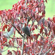Red Bellied Woodpecker In Dogwood Print by Alan Lenk
