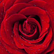 Red Rose With Dew Print by Garry Gay