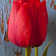 Red Tulip Print by Garry Gay