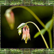Redwood Columbine Print by Bell And Todd
