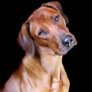 Rhodesian Ridgeback Print by Julie L Hoddinott