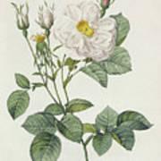 Rosa Alba Foliacea Print by Pierre Joseph Redoute