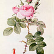 Rosa Bifera Officinalis Print by Pierre Joseph Redoute