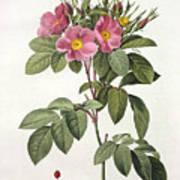 Rosa Carolina Corymbosa Print by Pierre Joseph Redoute