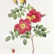 Rosa Eglantera Punicea Print by Pierre Joseph Redoute