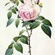 Rosa Indica Fragrans Print by Pierre Joseph Redoute