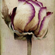 Rose 2 Print by Marion Galt