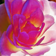 Rose Effusive Print by Lynne Furrer