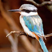 Sacred Kingfisher Print by Mike  Dawson