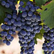 Sauvignon Grapes Print by Garry Gay
