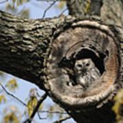 Screech Owl In A Tree Hollow Print by Darlyne A. Murawski