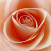 Soft Rose Print by Steve Williams