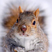 Squirrel Portrait Print by Mircea Costina Photography