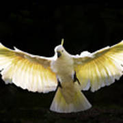 Sulphur Crested Cockatoo In Flight Print by Avalon Fine Art Photography