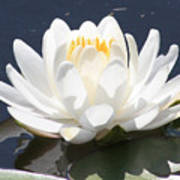Sunlight On Water Lily Print by Carol Groenen