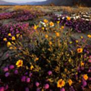 Sunrise On Desert Wildflowers Print by Tim Laman