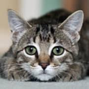 Tabby Kitten Print by Jody Trappe Photography